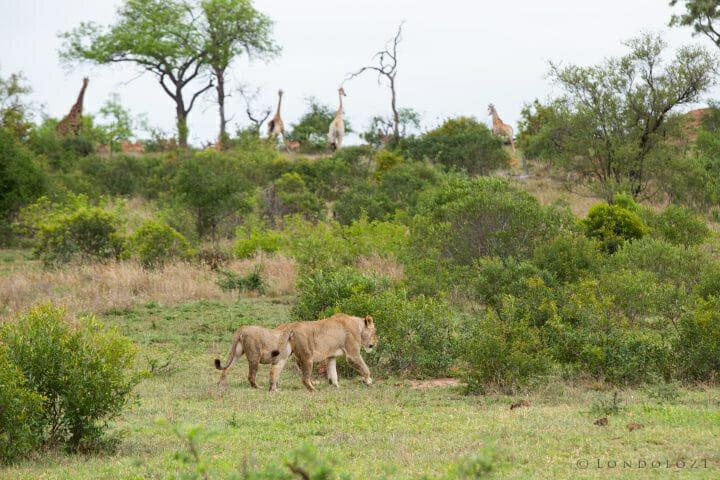 Tsalala Lion Giraffe