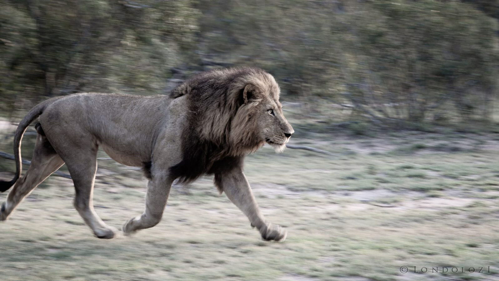 Birmingham Male Lion Run Panning Blur
