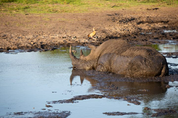 Rhino Wallow