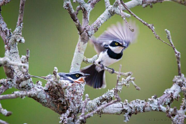 Batis Nest Bird1