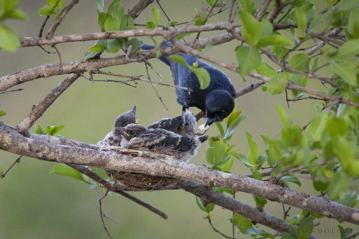 Drongo Bird Chick Nest