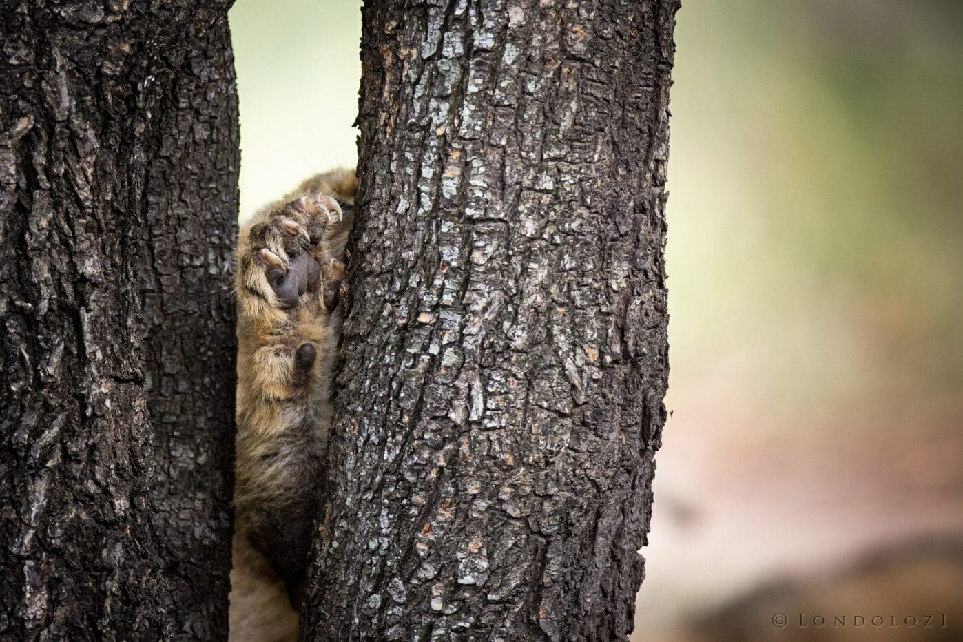 Ntsevu Lion Cub Claws Paw