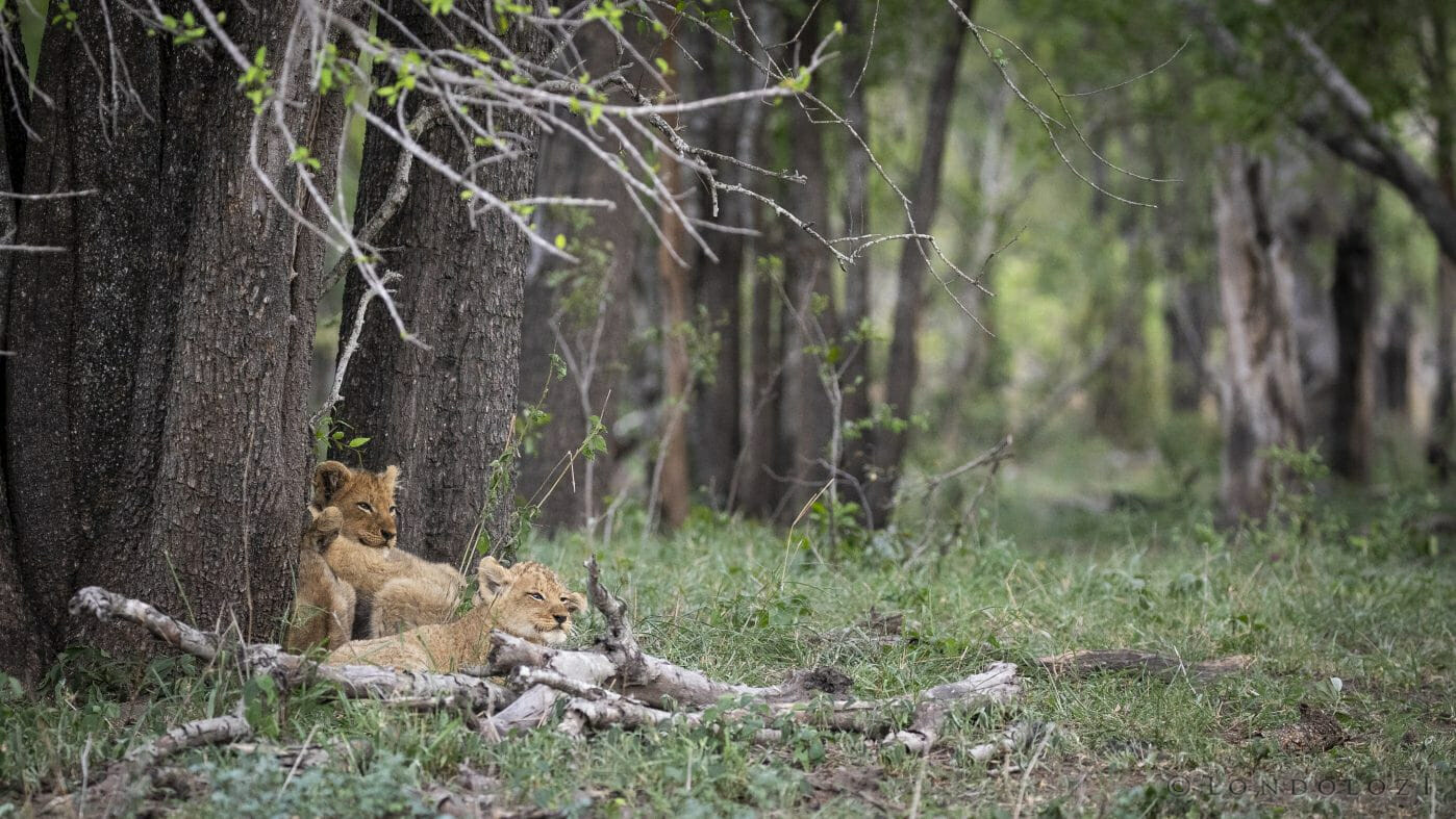 Ntsevu Lion Cubs Tamboti