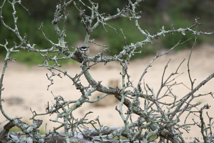 Batis Nest Bird Lion Tsalala