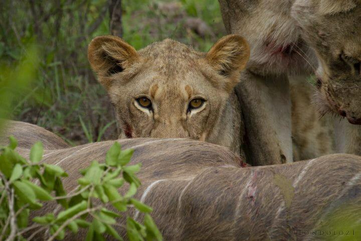 Tsalala Lion Kill Kudu 2