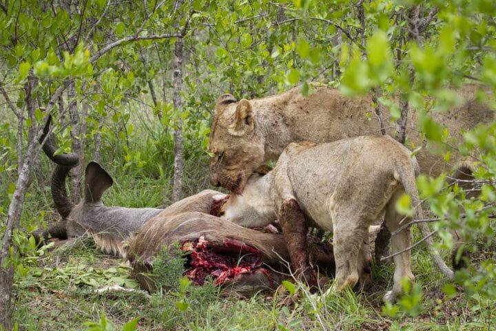 Tsalala Lion Kill Kudu 7