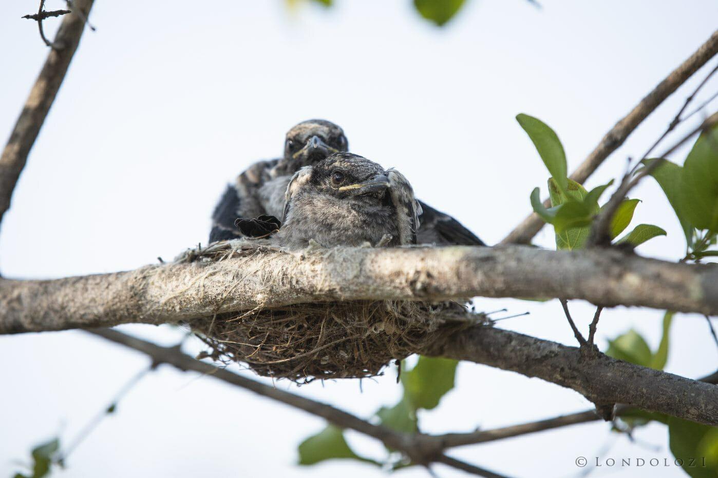 Drongo Chicks Bird 2