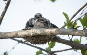 Drongo Chicks Bird 2
