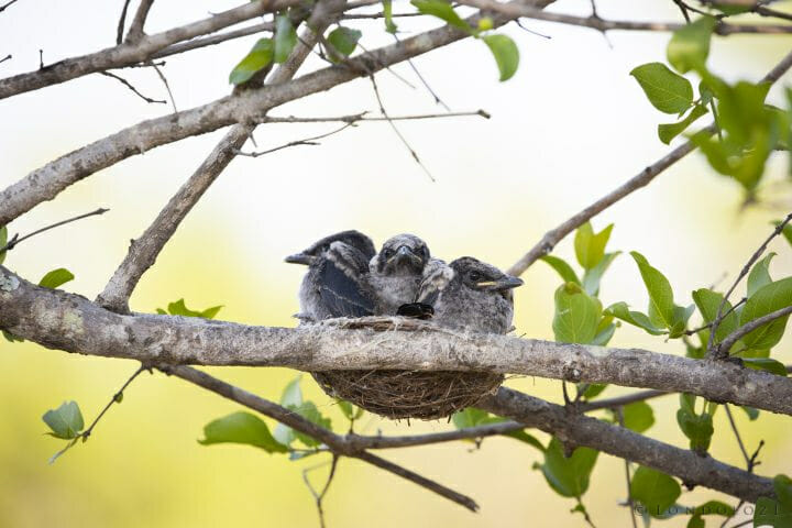 Drongo Chicks Bird