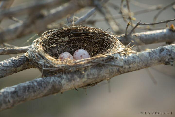 Drongo Nest Eggs