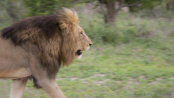Birmingham Lion