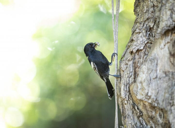 Black Tit Bird Nest