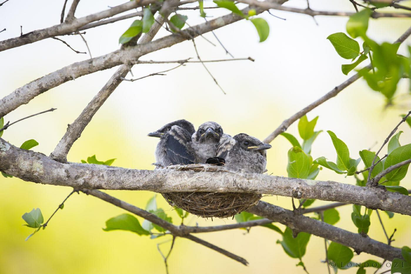 Drongo Bird Chick Nest1