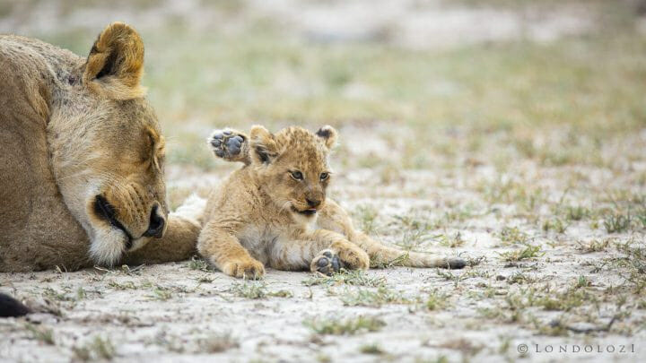 Ntsevu Lion Cub1