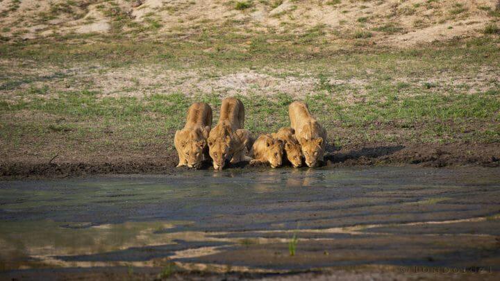 Ntsevu Lions Drink