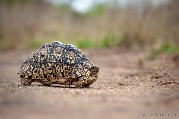Leopard Tortoise 5108