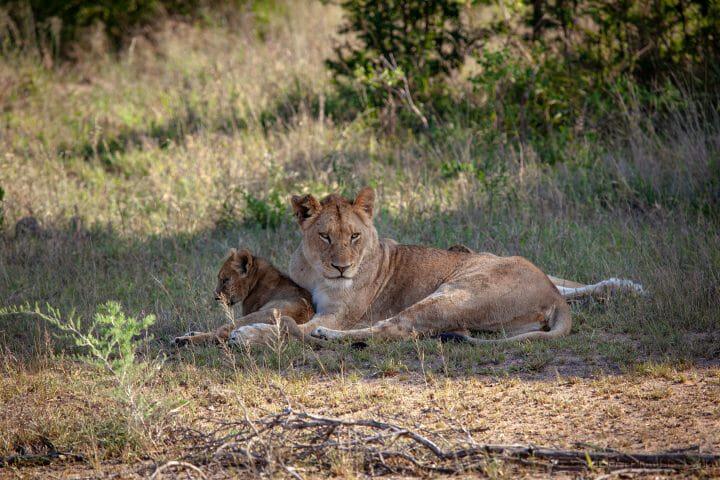 Mhangeni Female And Cub 5165