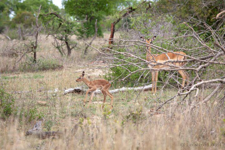 Newborn Impala Lamb 5113