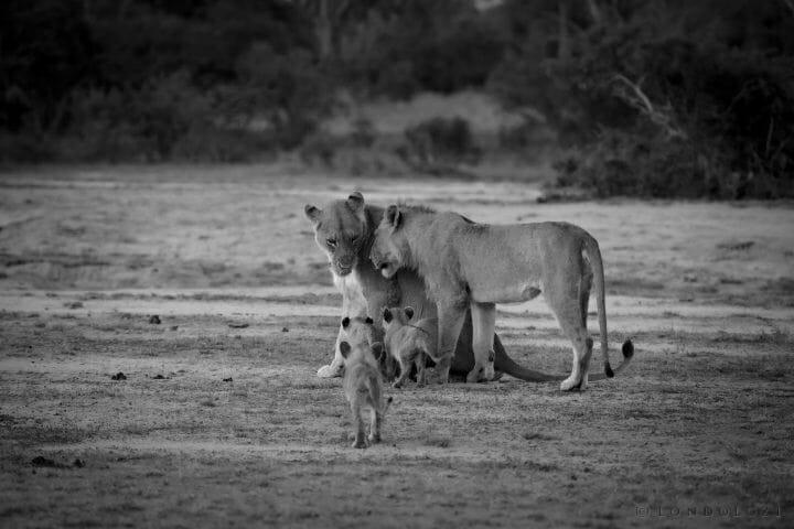 Ntsevu Lions And Cubs Mondzo 5167