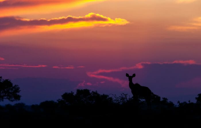 Kudu Silhouette With Sunset 1992