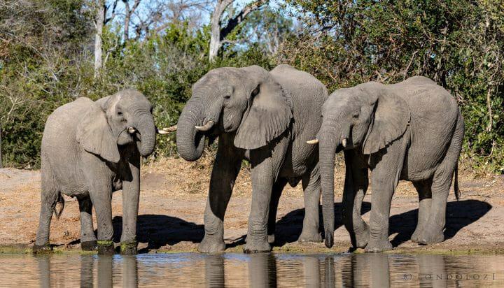 Elephants Shingi Dam Pano Pt2020