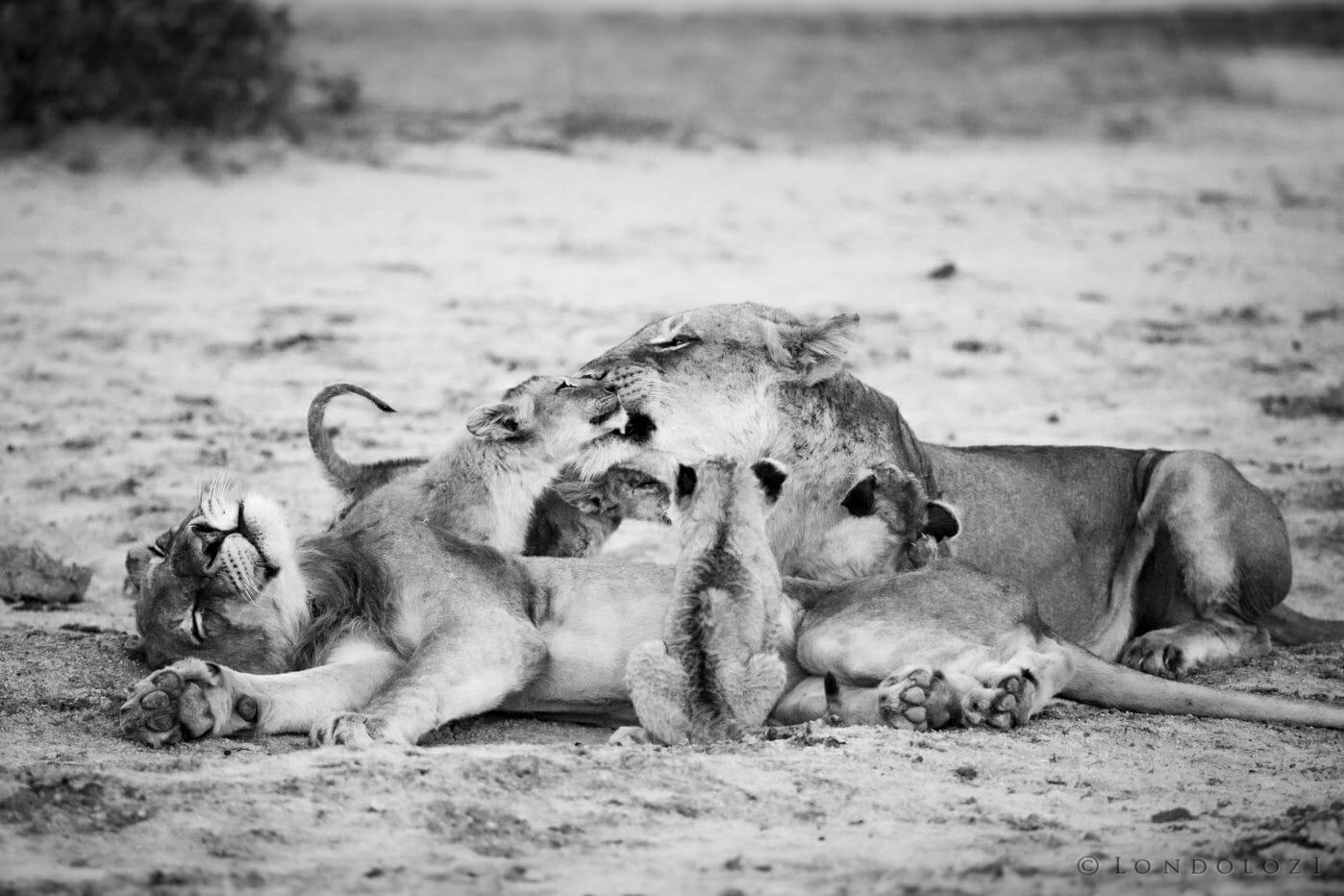 Lions Ntsevu Cubs