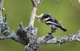 Chinspot Batis Bird 3