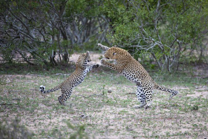 Mashaba Ximungwe Leopards