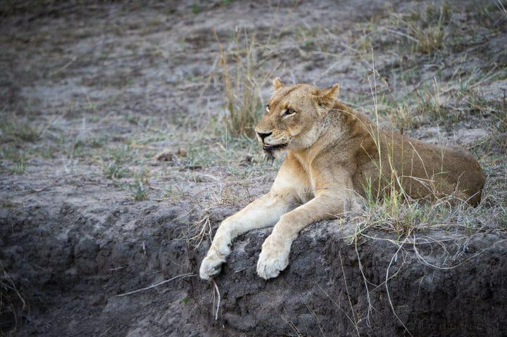 Tailless Tsalala Lioness 2015