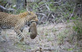 Tamboti Leopard Cub
