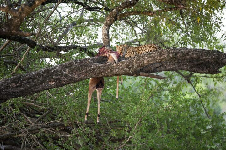Tamboti Leopard Jackalberry