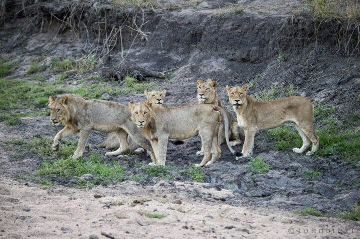 Tsalala Lions 2015