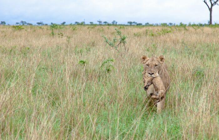 Mhangeni Lioness Carry Cub PT 2020