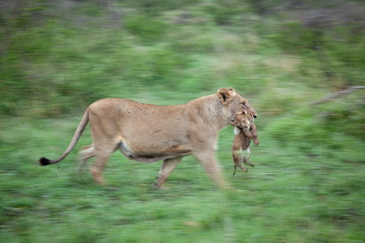Mhangeni Lioness And Cub PT 2020