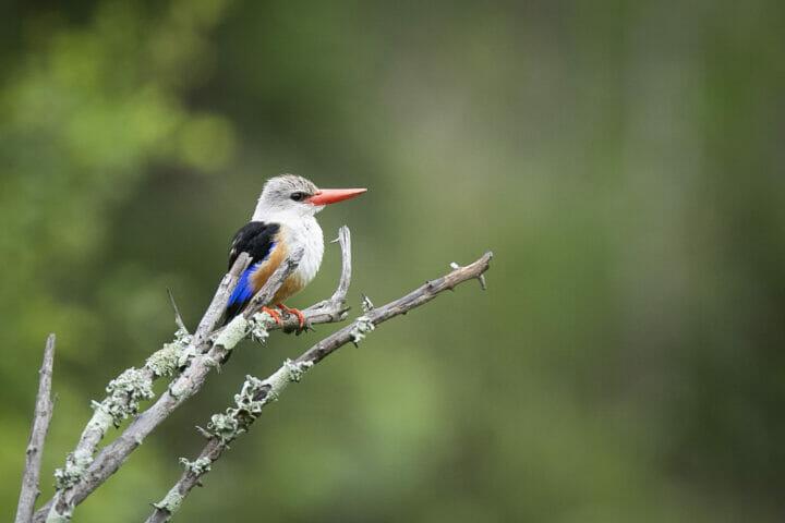 Grey Headed Kingfisher Bird