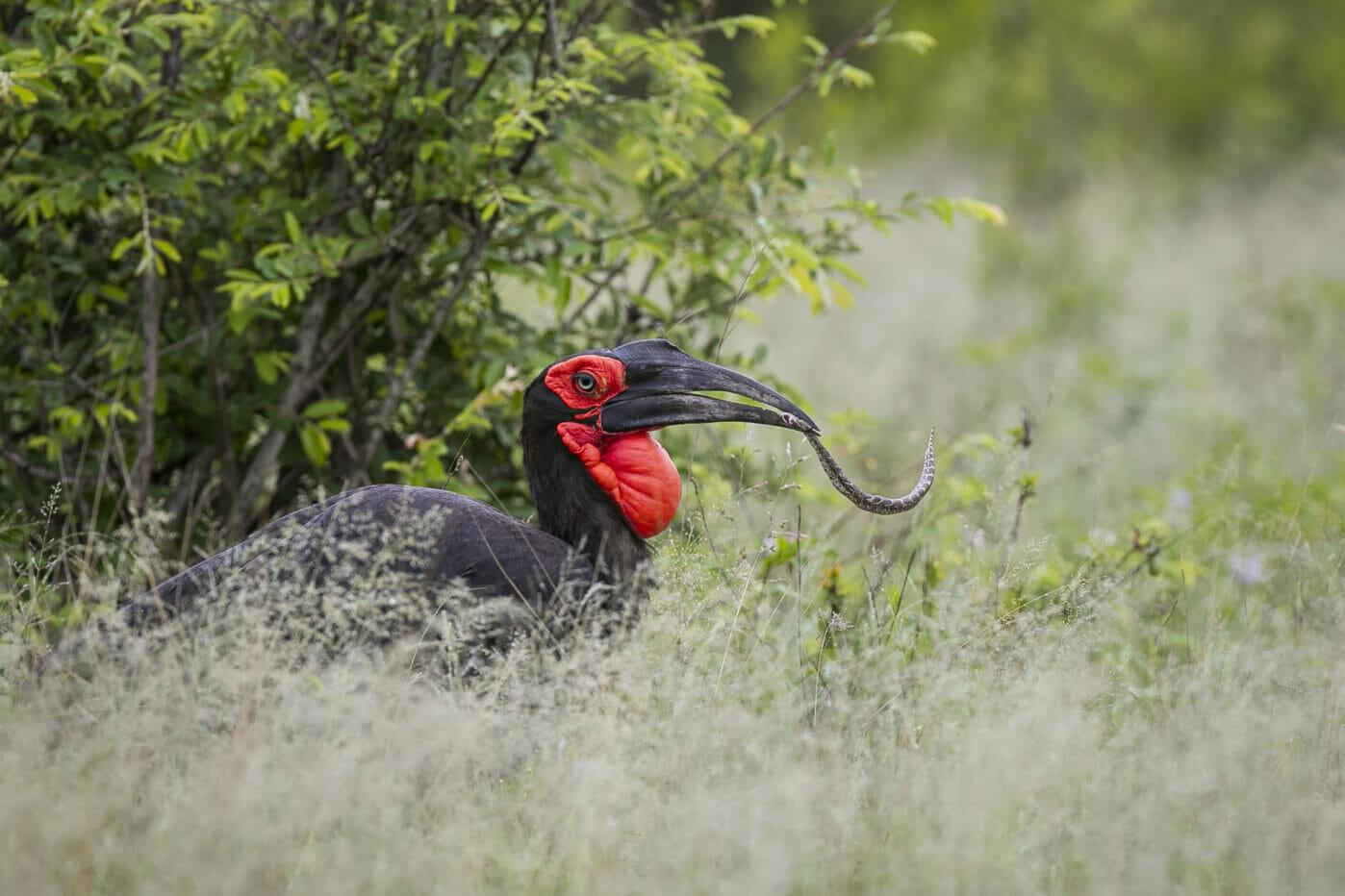 Ground Hornbill Puff Adder Snake