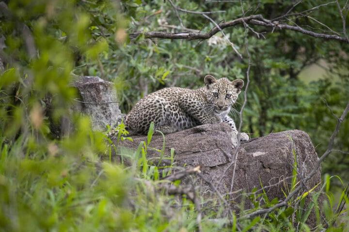 Makomsava Leopard Cub