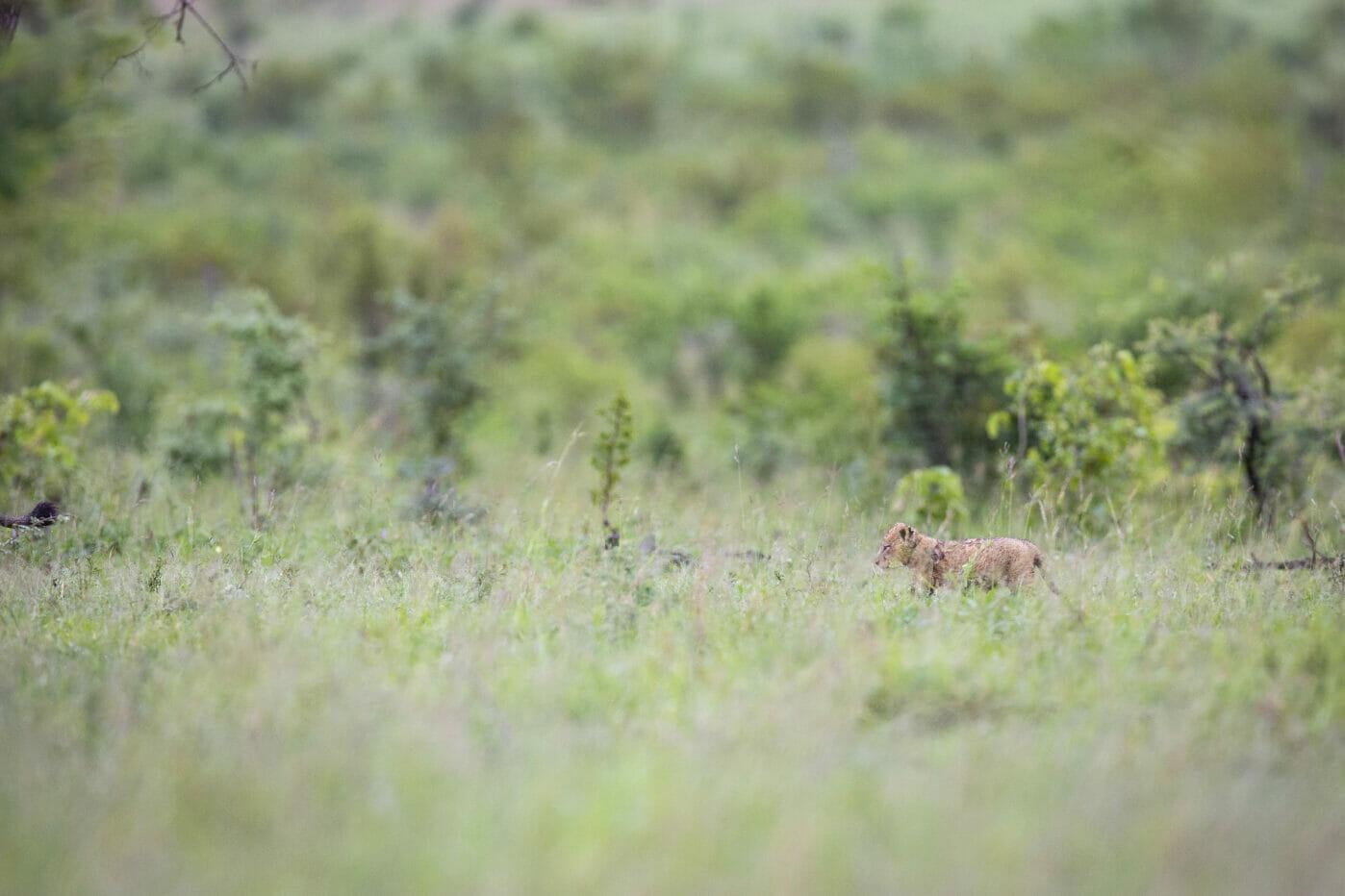 Mhangeni Lion Cub