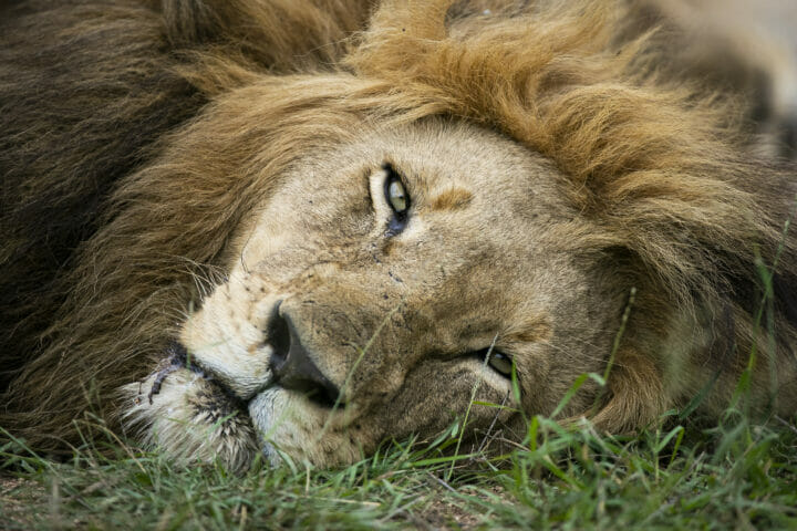 Othawa Male Lion