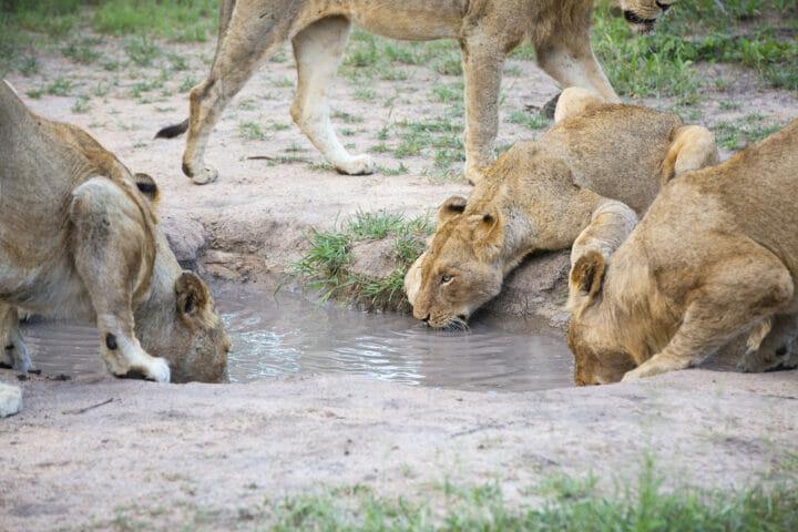 Ntsevu Lion Drink
