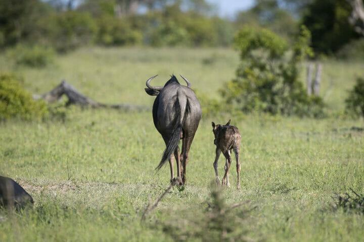 Wildebeest 4