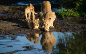 Mhangrni Lion Cub Drink 2
