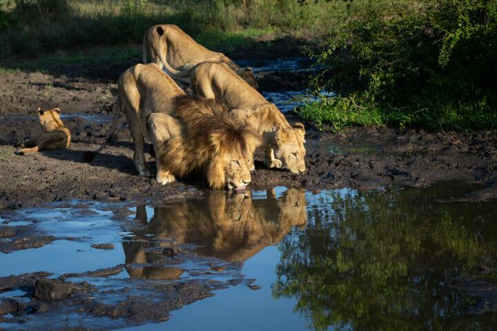 Mhangeni Lion Othawa Drink