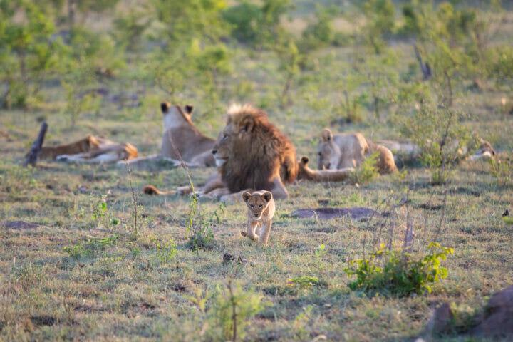 Mhangeni Lion Pride Cub