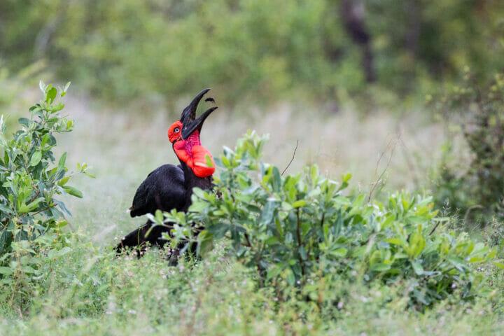 Ground Hornbill Bird 5