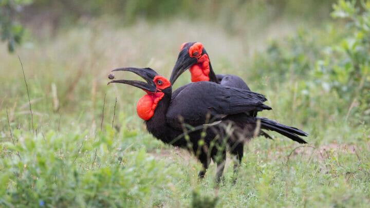 Ground Hornbill Bird 3