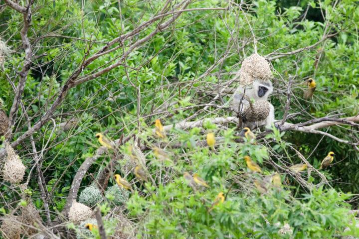 Monkey Weaver 3