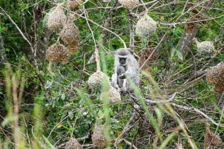 Monkey Weaver