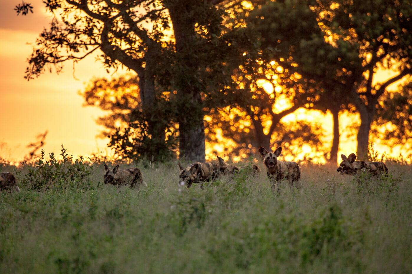 wild dogs sunset