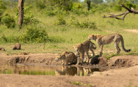 cheetah female and cubs